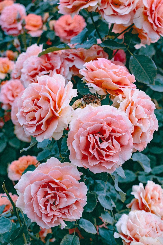 2019 - <b>rose joy 2</b>