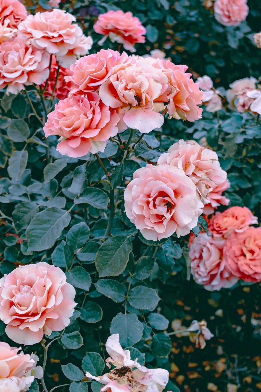 2019 - Rose Joy 1