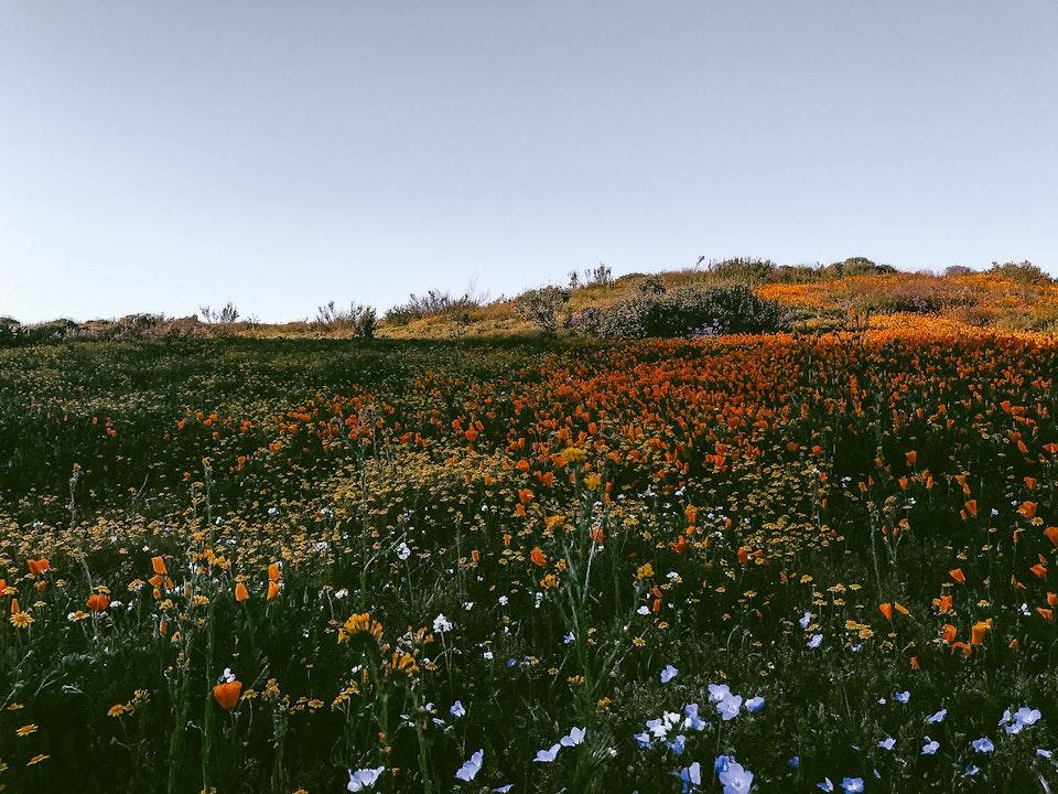 Phone - Meadowlark Songs; Diamond Valley Lake, CA