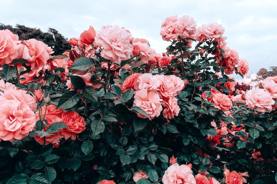 2018 - <b>sanguine rose 1</b>