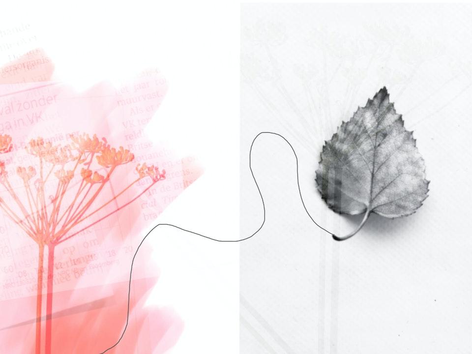 Tima roze blad aug20 -