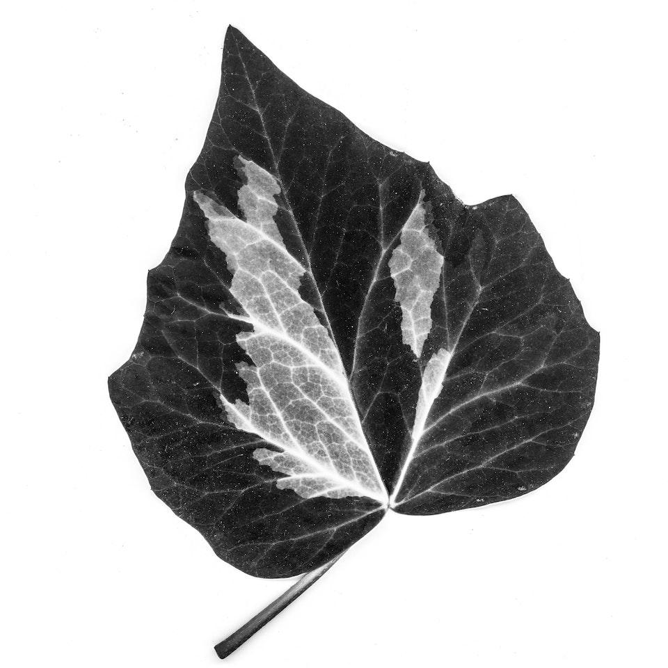 blad klimop-2 -