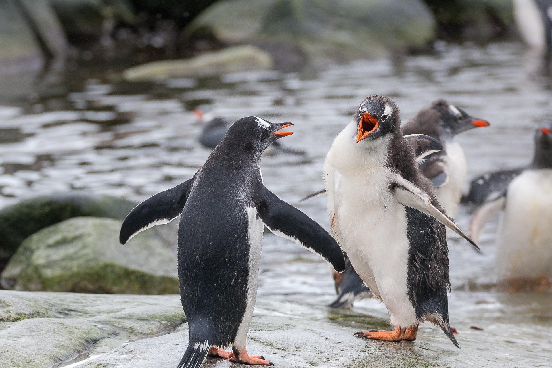 Screaming Gentoo Penguins