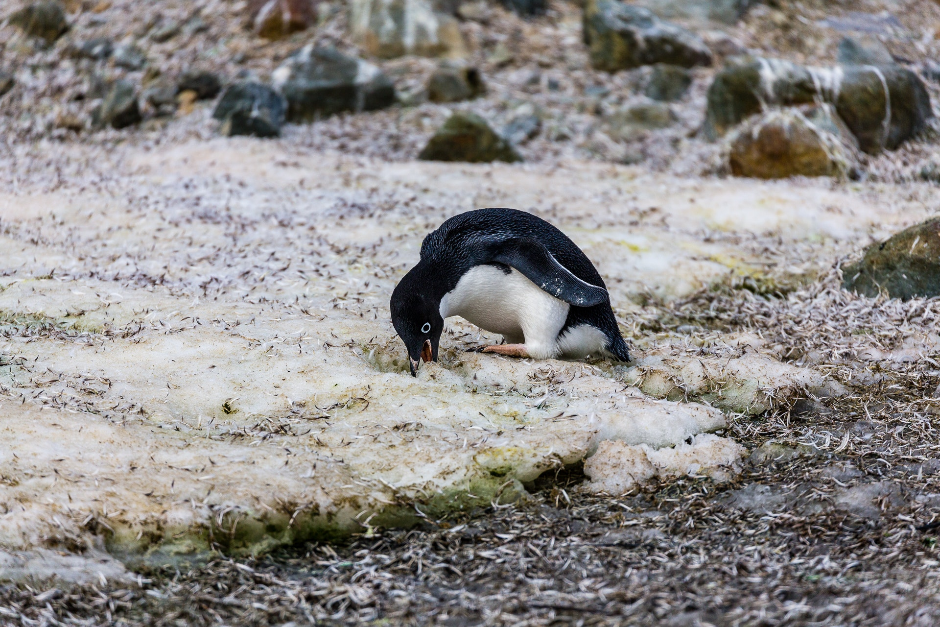 Adelie Penguin chewing ice