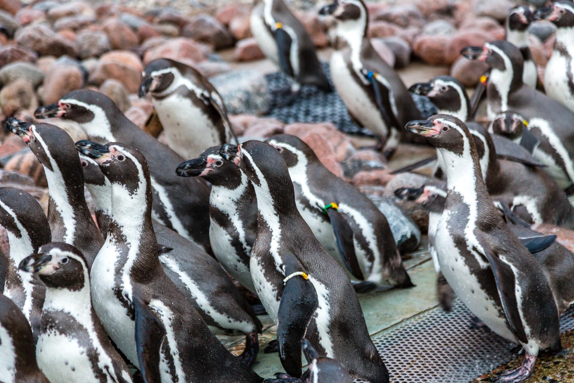 Penguin crowd at Slottskogen