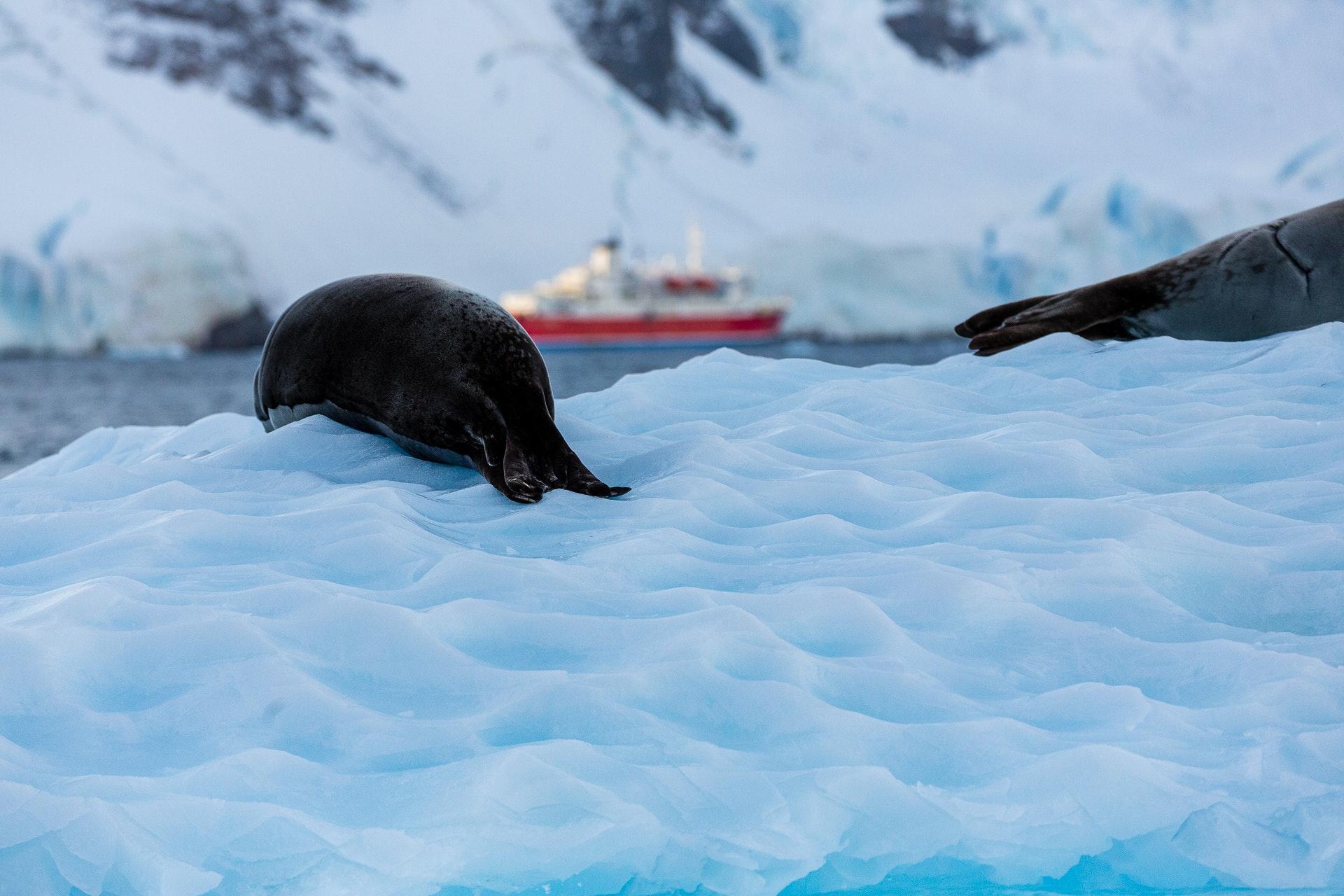 Crabeater Seal