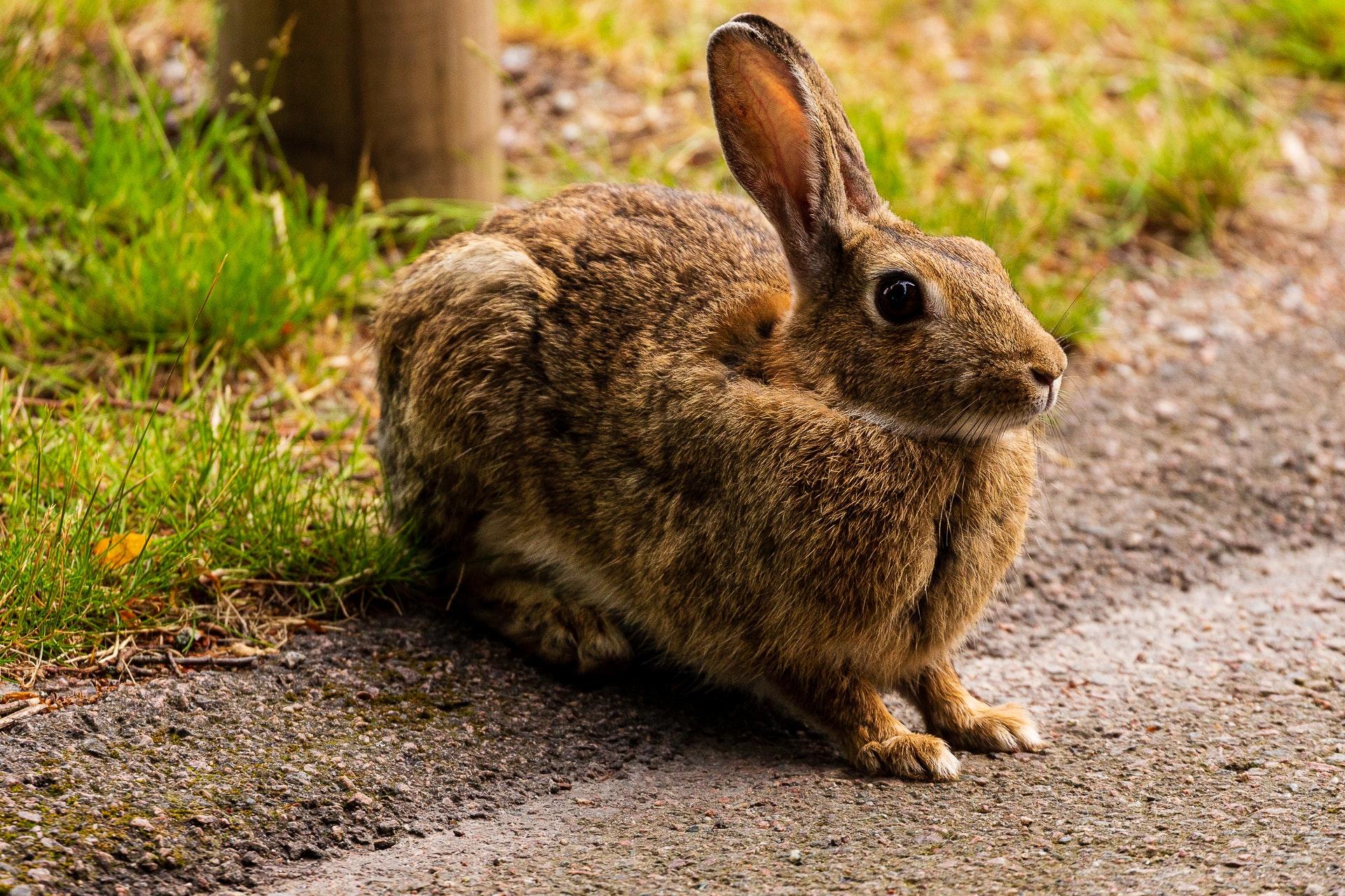 Hare at Gamla Vattentorn
