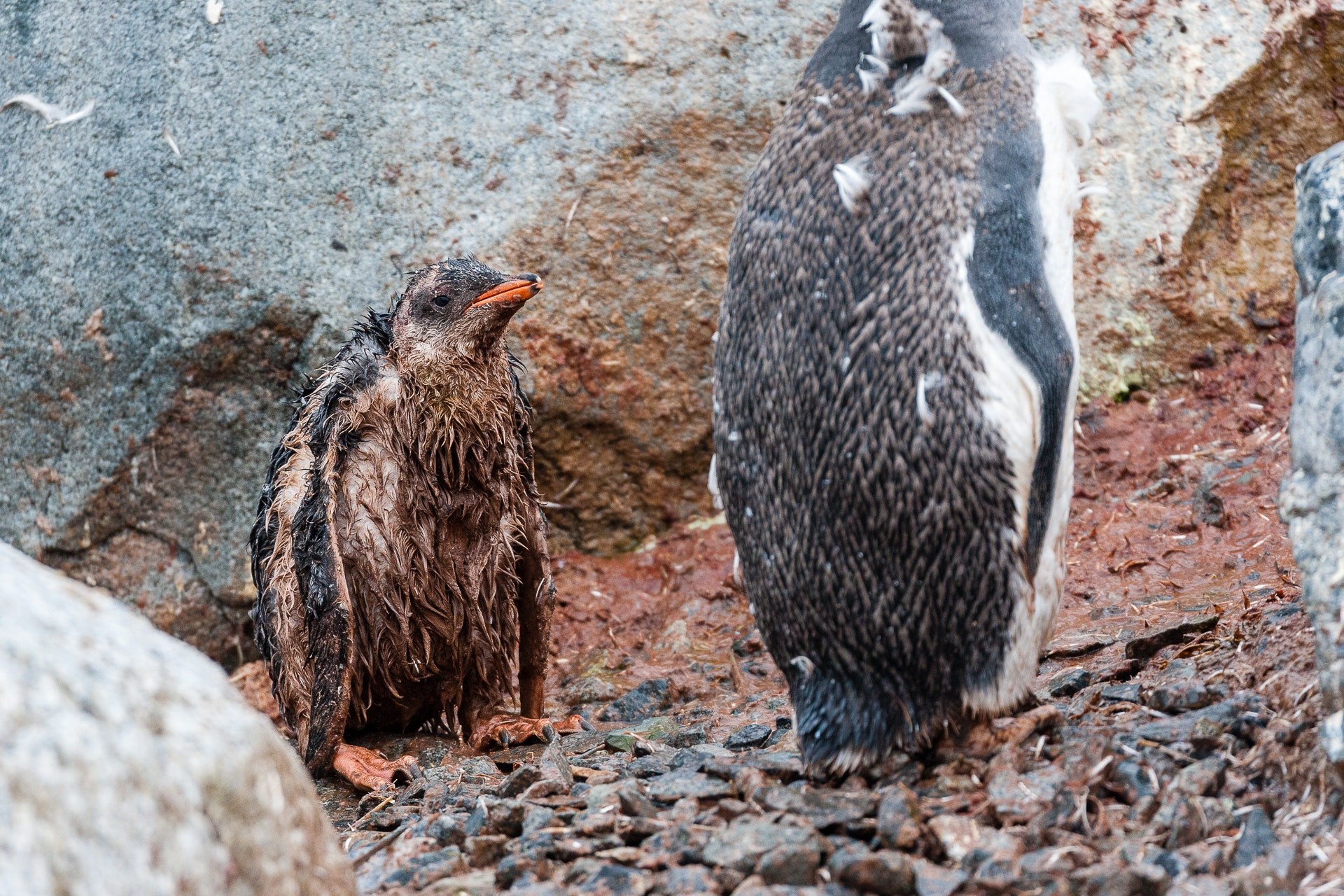 Injured Gentoo Chick and Unwilling Protector