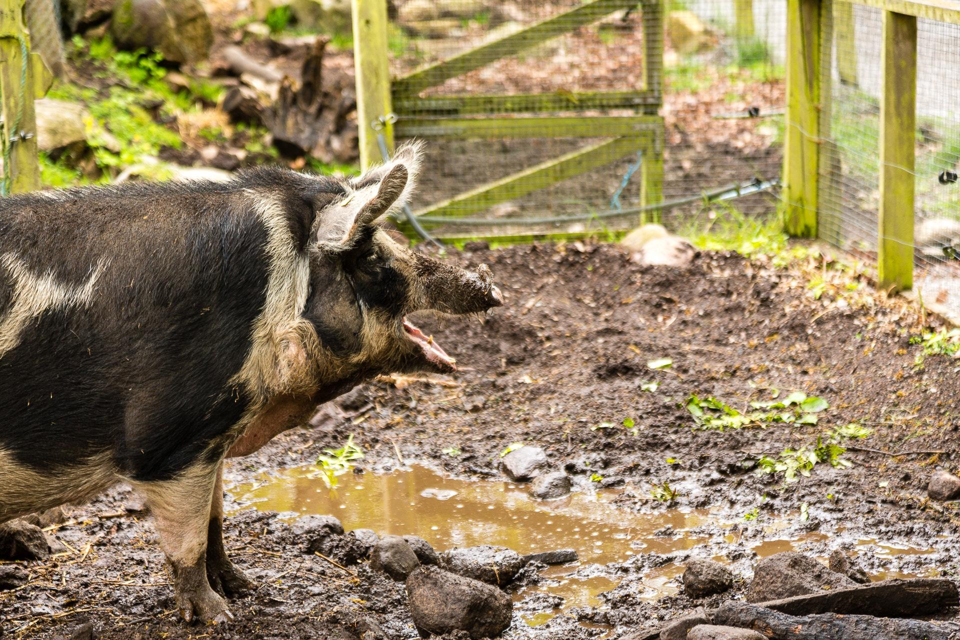 Pig of Wämöparken