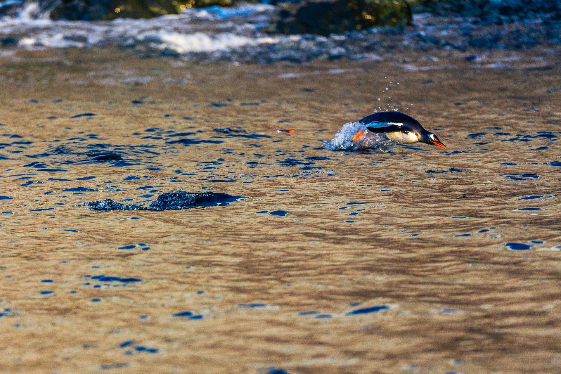 Gentoo dolphining