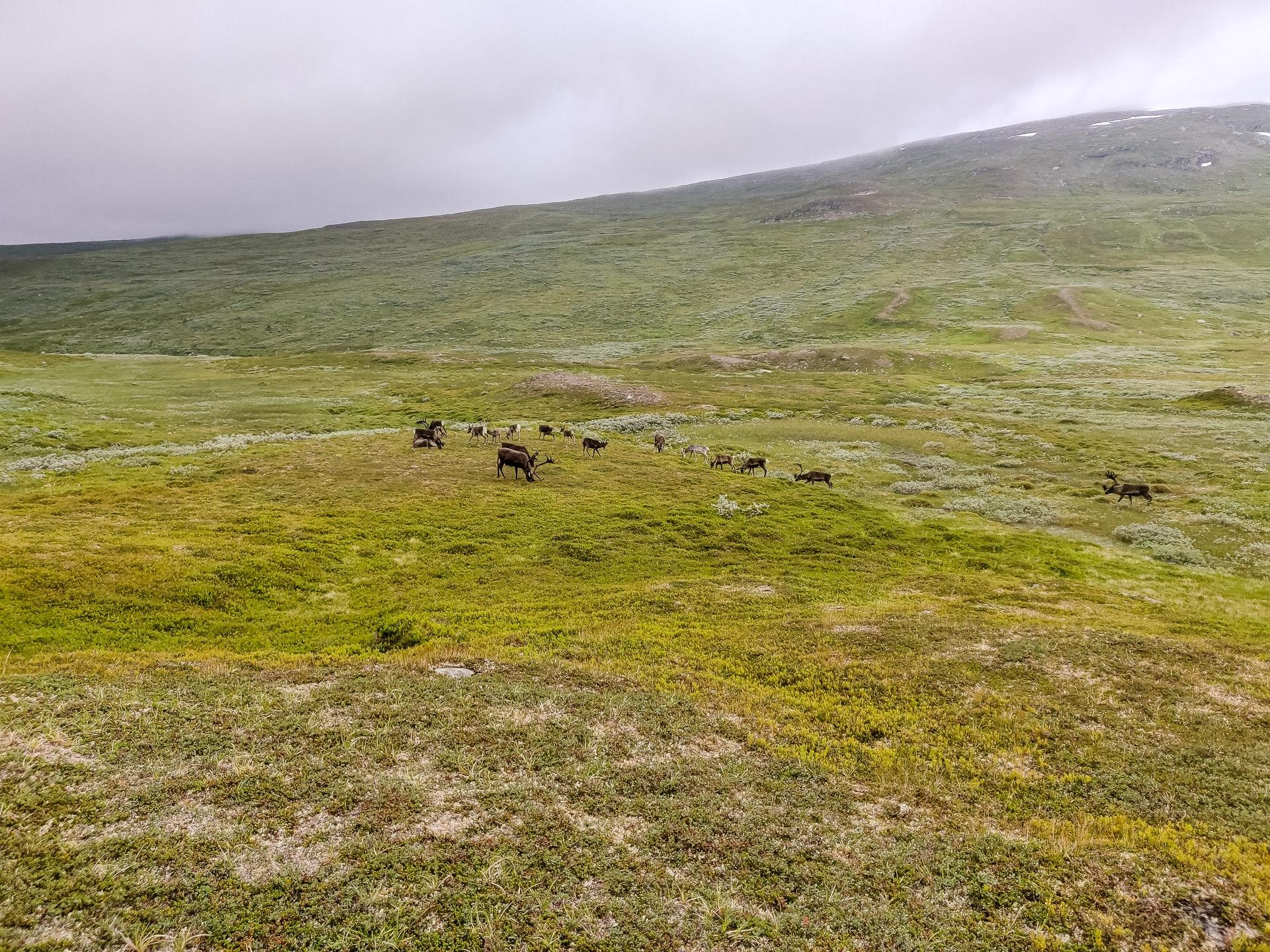 Herd of reindeer coming to say farewell