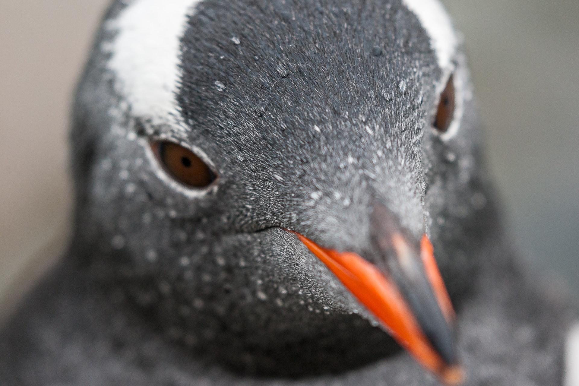 Extreme Closeup of Gentoo