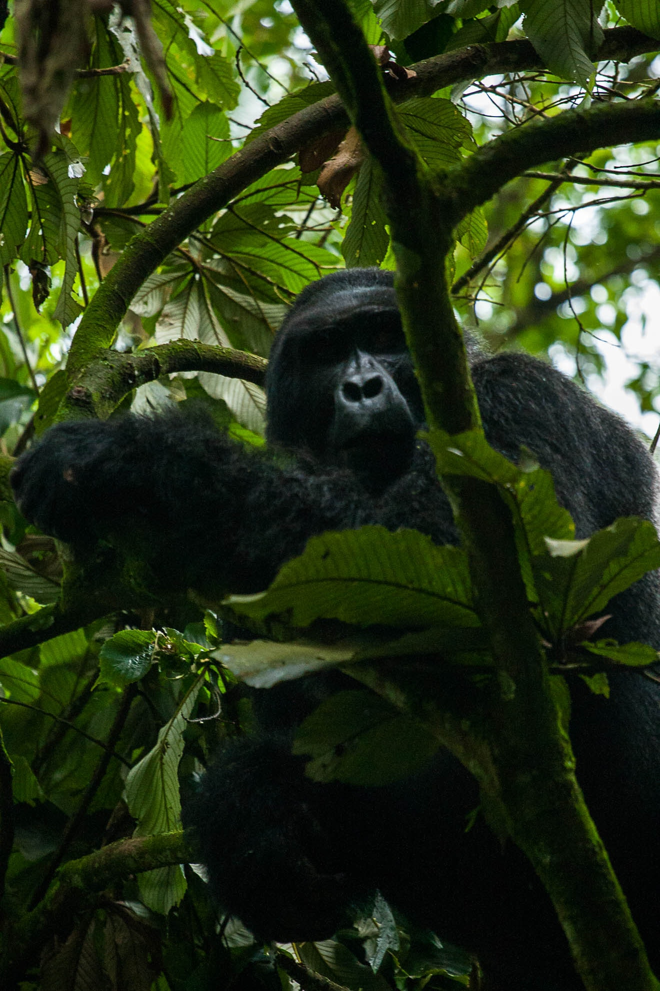 Gorilla in a tree looking down