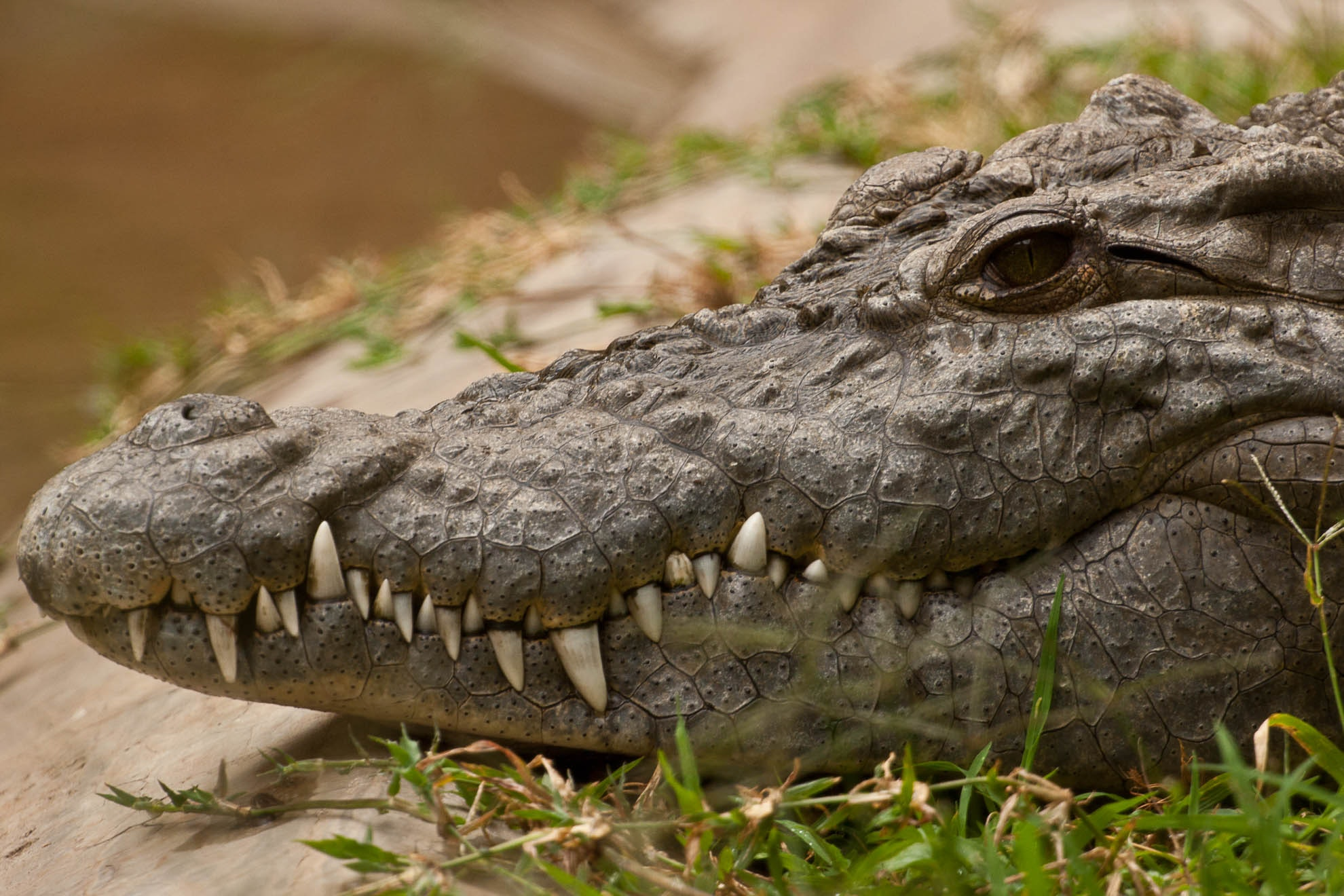 a 'tame' crocodile