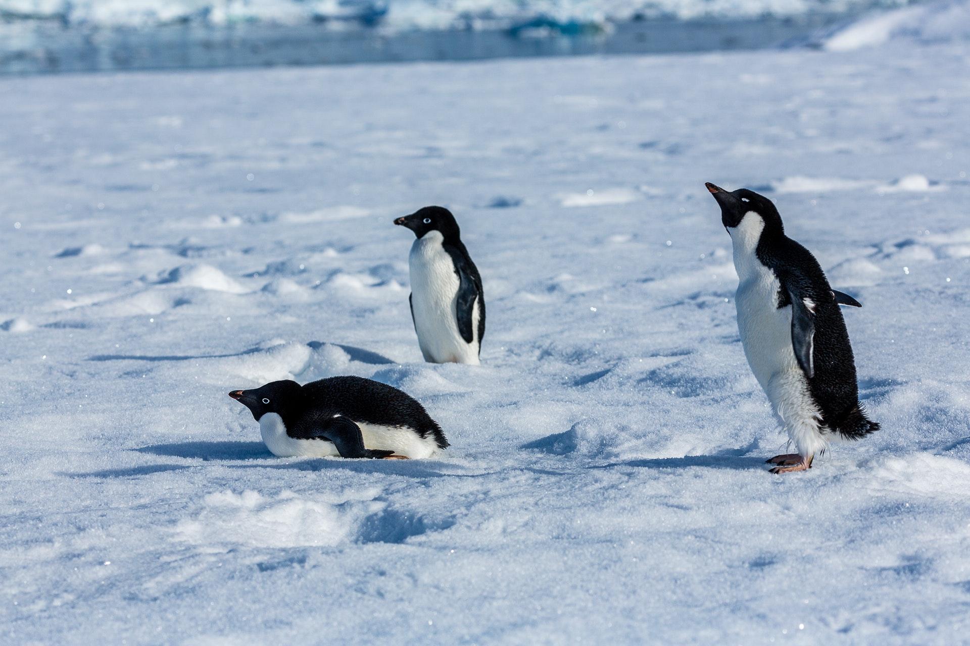 Adelie Penguins on Sea Ice