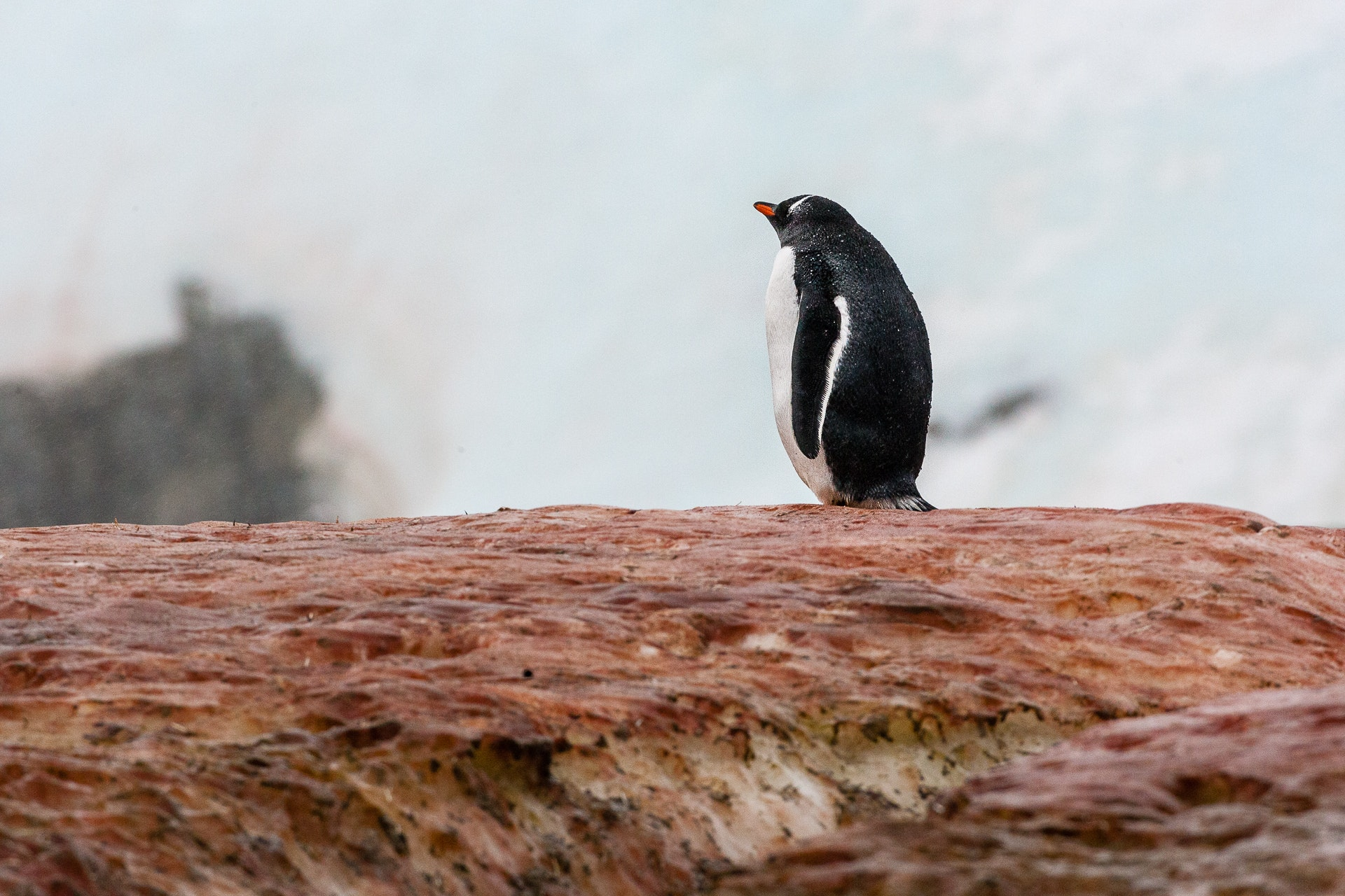 Gentoo Penguin on guano