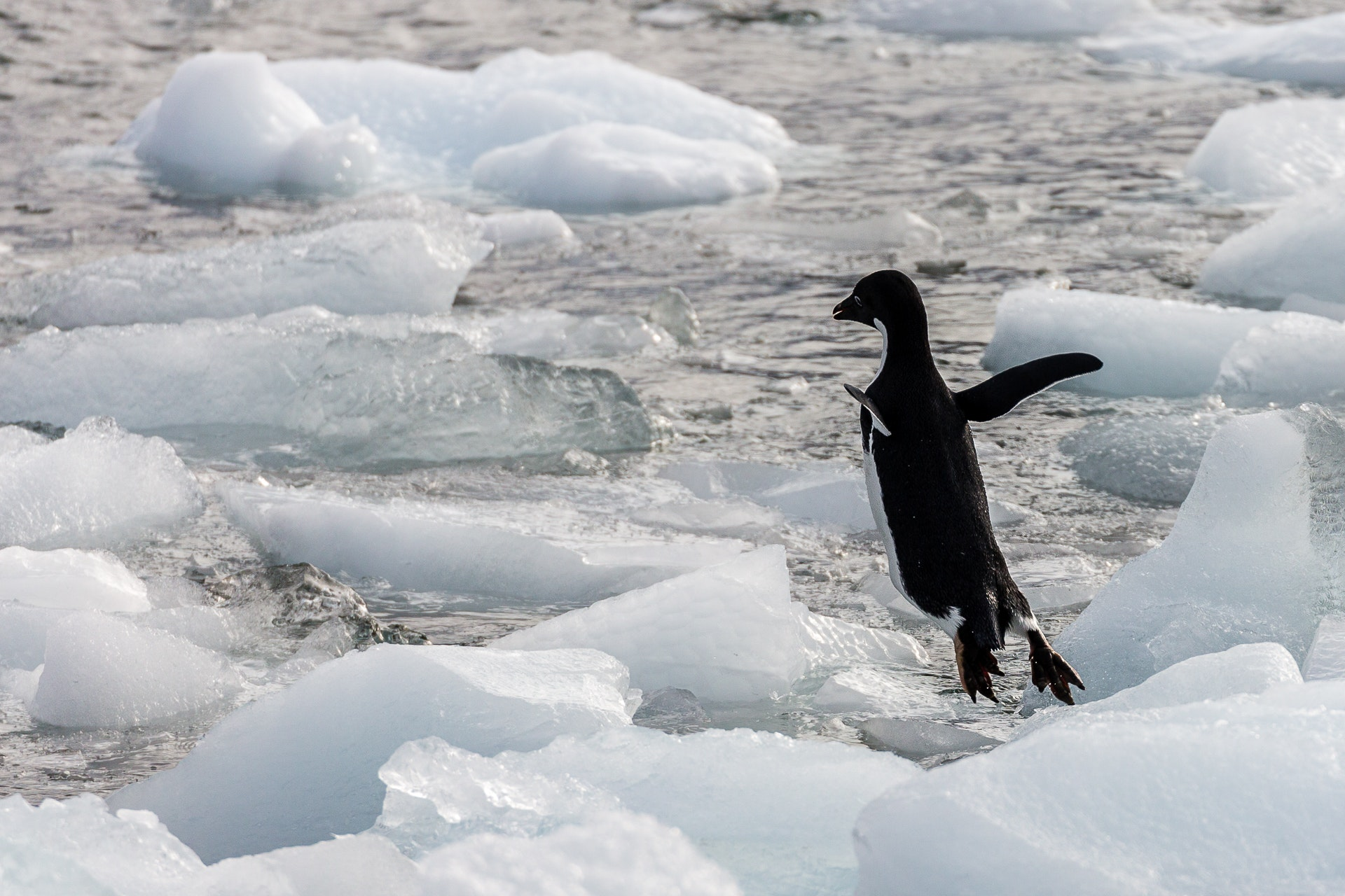 Adelie Penguin diving into the water