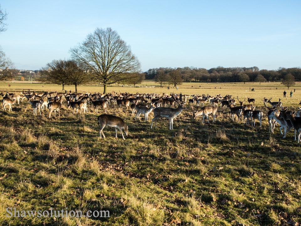 A Tog's Trek - Deer at Richmond Park