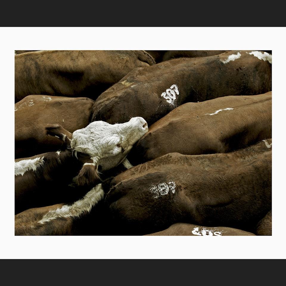 PHOTOGRAPHIC PORTFOLIO COWS