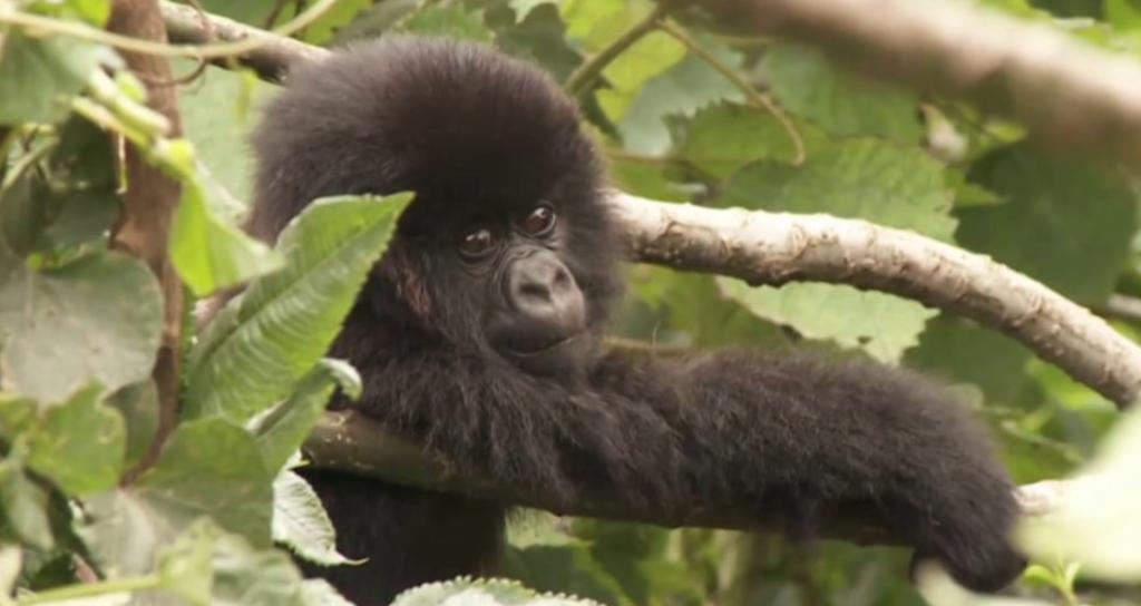 UN ENVIRONMENT Gorilla Diaries Rwanda