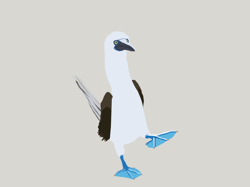 Birds - Blue Footed Booby
