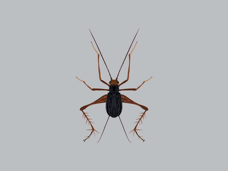 Bugs - African Cave Cricket
