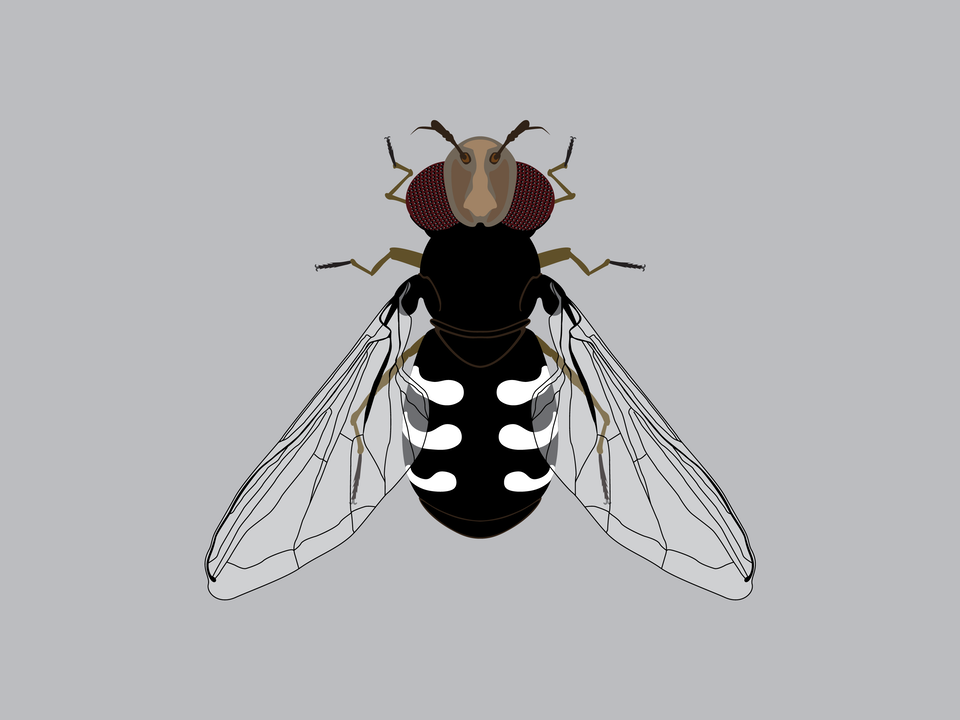 Bugs - Pied Hoverfly