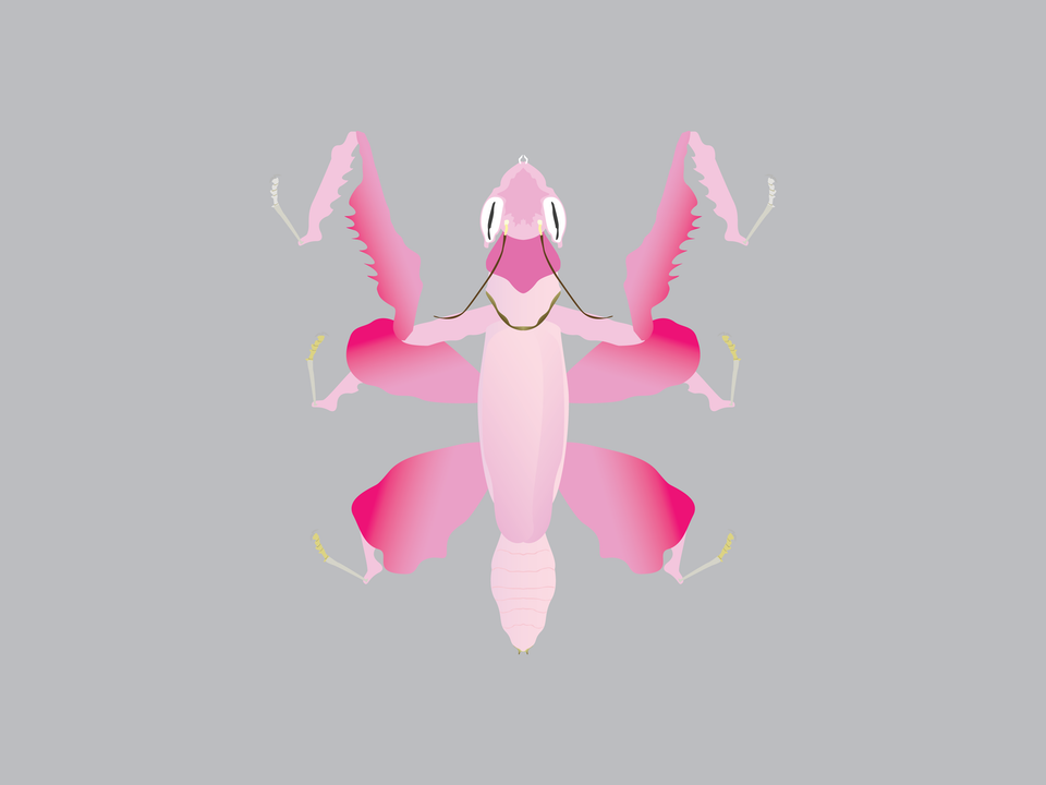 Bugs - Orchid Mantis