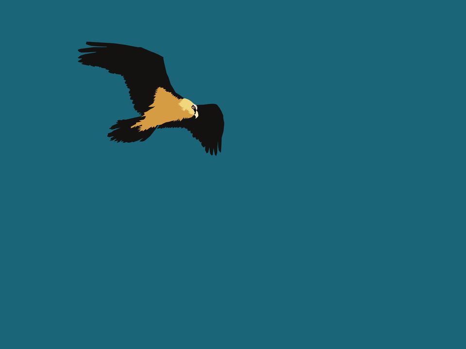 Birds - Lammergeier