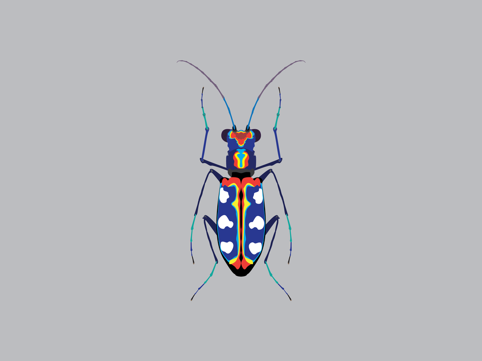 Bugs - Blue Spotted Tiger Beetle