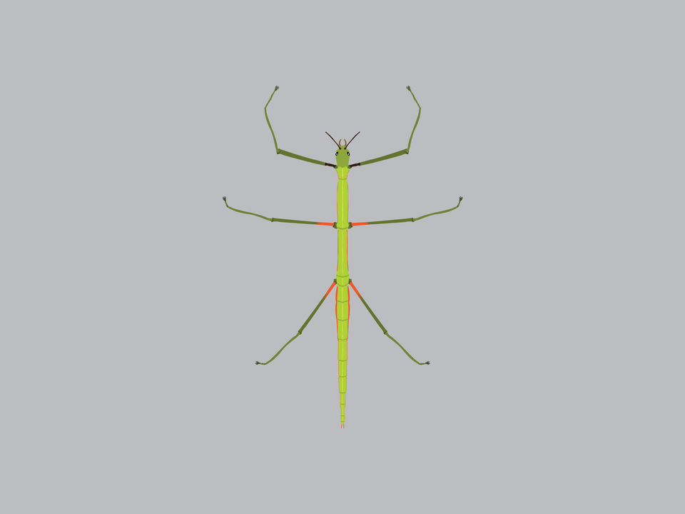 Bugs - Mediterranean Stick Insect