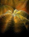 Sunset urchin