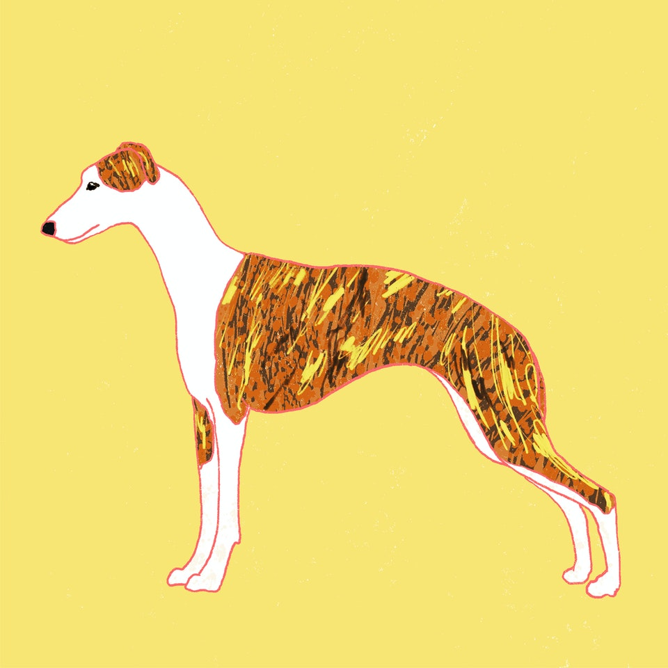 Dogs Milica-Golubovic-Whippet-web
