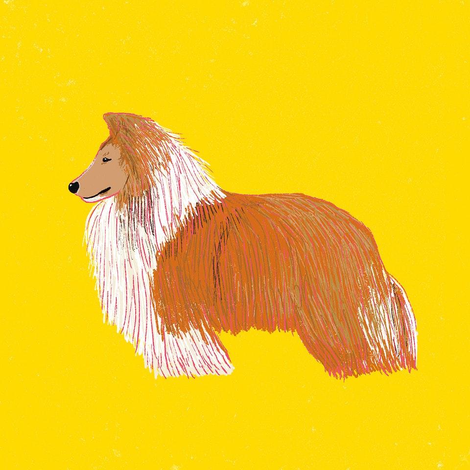 Dogs Milica-Golubovic-Shetland-Sheepdog-Sheltie-web