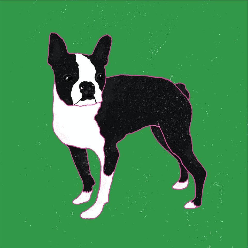 Dogs Milica-Golubovic-Boston-terrier-web