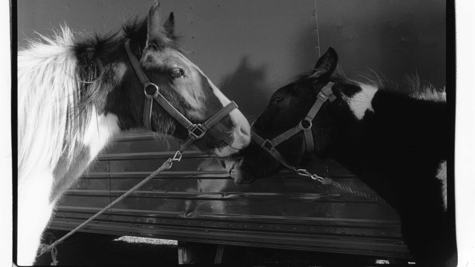 Stow Fair horses kissing