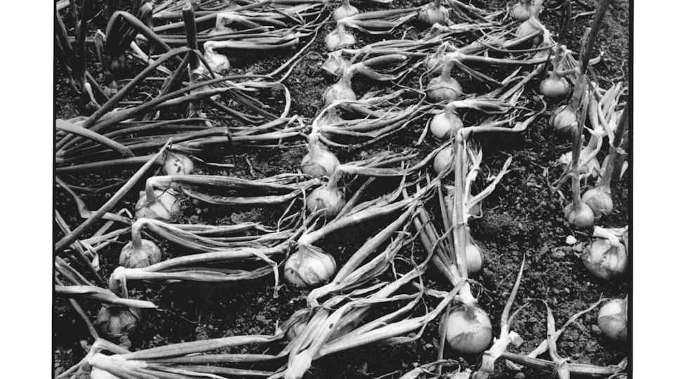Home of Springs, Trengwainton Trengwainton Garden - Onions