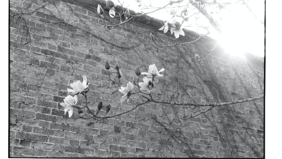 Home of Springs, Trengwainton Trengwainton Garden - Magnolias