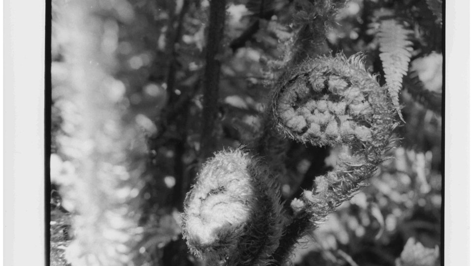 Home of Springs, Trengwainton fern