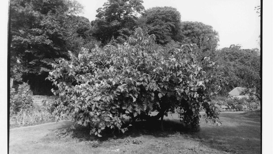 Home of Springs, Trengwainton mulbery bush