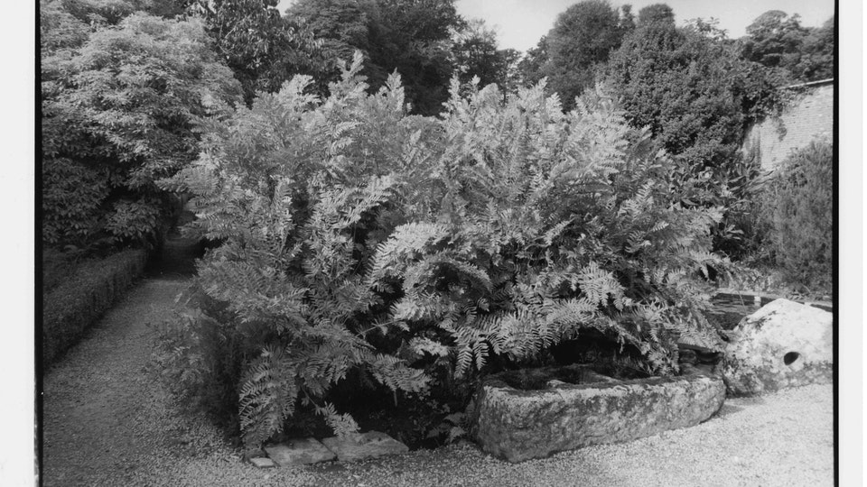 Home of Springs, Trengwainton royal fern