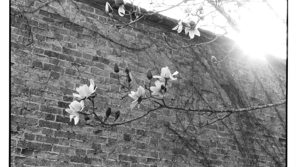 Home of Springs, Trengwainton Magnolias