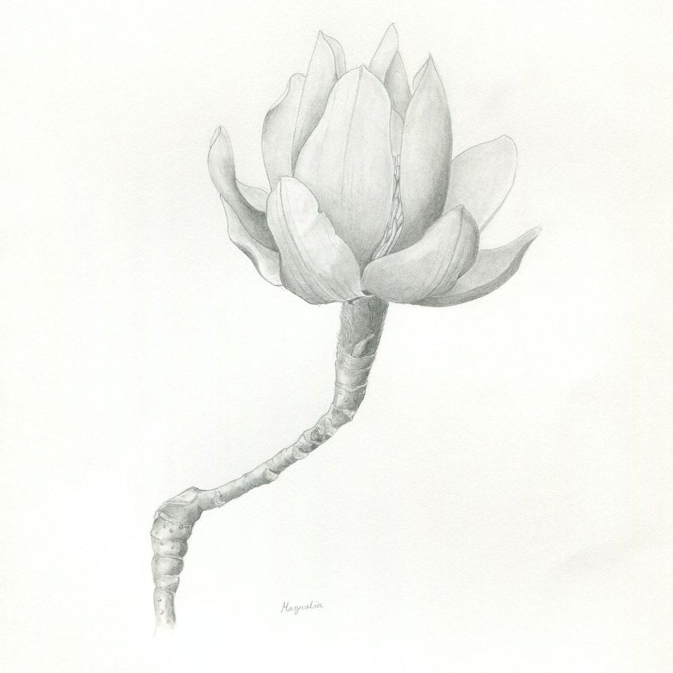 Home of Springs, Trengwainton Book Jamilla magnolia 3