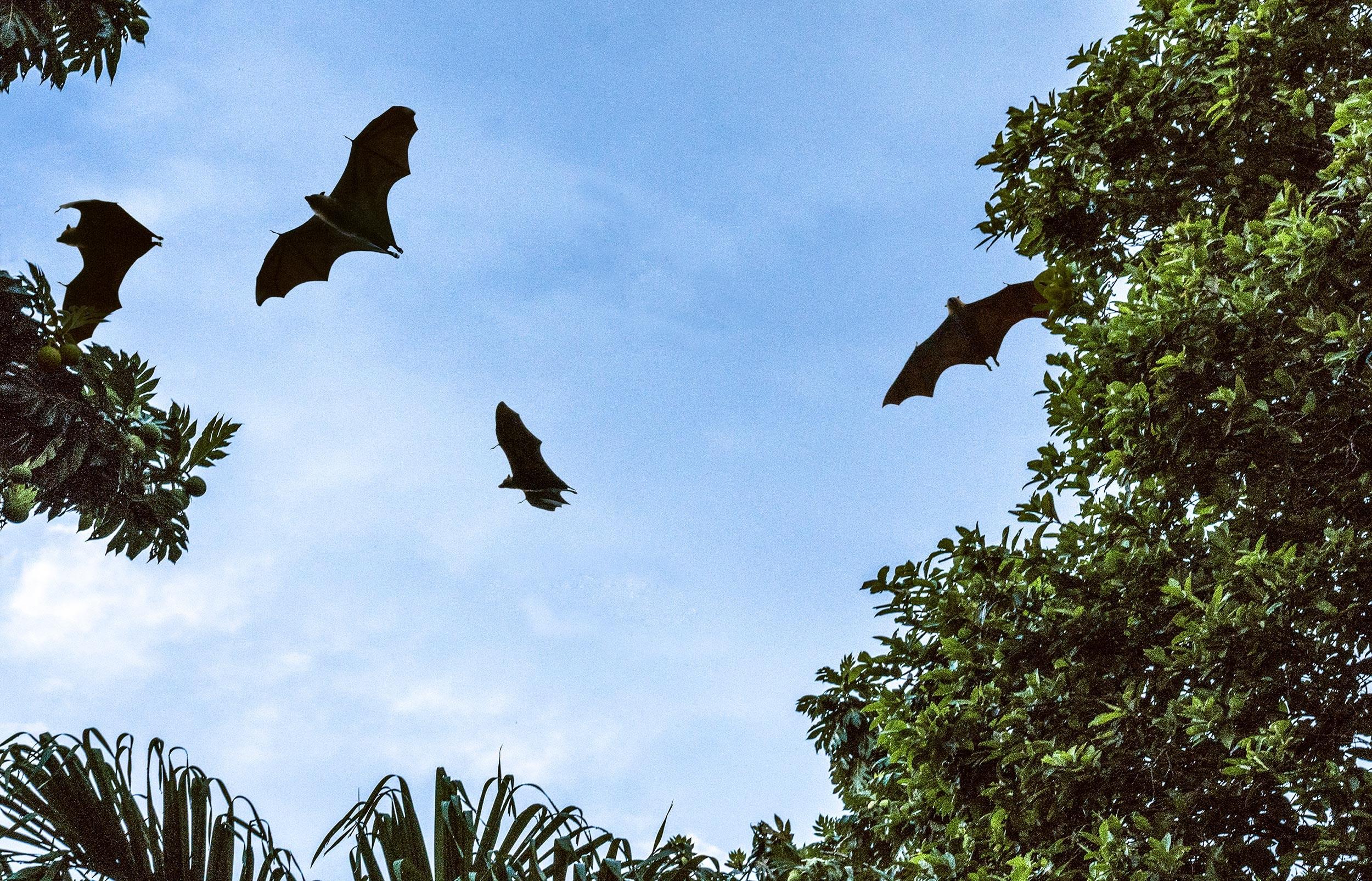 Michael Loos - Seychelles_bats
