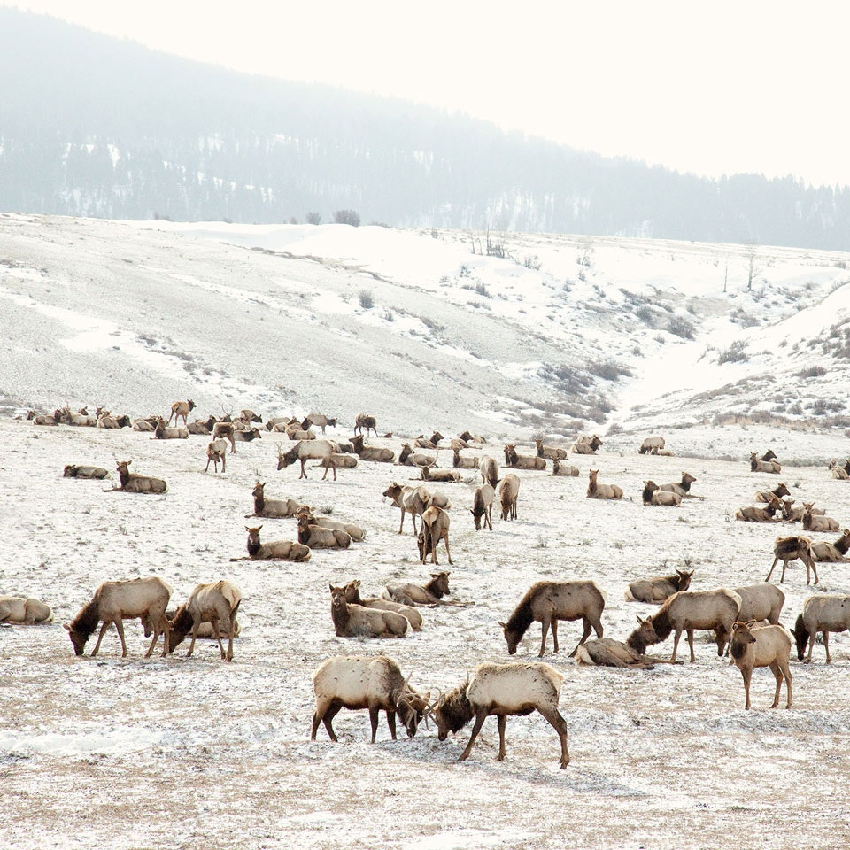 CHRISTINE FLYNN - ELK BATTLE