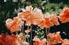 Prints - Poppy - photo rag - 70x50 2200 SEK