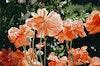 Prints - Poppy - photo rag - 70x50 2200 SEK