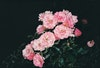 Prints - Roses - photo rag - 70x50 2200 SEK