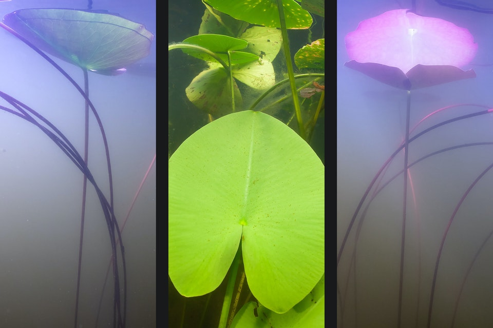 Water - Waterlily triptych