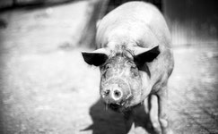 Pigs 07